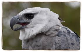 Small Picture Harpy Eagle San Diego Zoo Kids