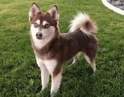 alaskan klee kai size everything about your alaskan klee kai luv my dogs