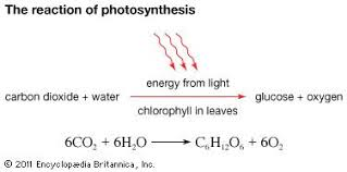 photosynthesis importance process reactions com in photosynthesis plants consume carbon dioxide and water and produce glucose and oxygen energy
