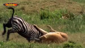 lioness hunting zebra. Unique Zebra Lion Hunt A Zebra To Lioness Hunting Zebra