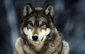 Волк серый доклад и фото Животный мир Волк серый доклад и фото