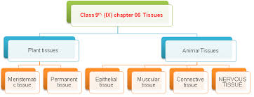 Flow Chart Of Animal Tissue Class 9 Solved Board Questions For Class Ix Plant Tissue And Animal