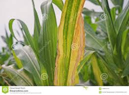 corn disease sweetcorn and maize disease northern leaf blight stock image