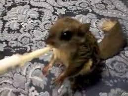 Feeding My Baby Flying Squirrel Youtube