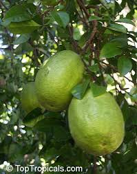 How To Grow A Lemon Tree In Pot  Care And GrowingFull Size Fruit Trees For Sale