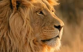 lion mac wallpapers free hd
