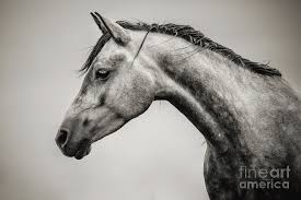 white horse head. Exellent Horse Horse Photograph  Black And White Head By Dimitar Hristov To
