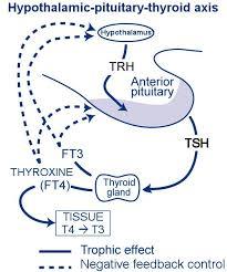 Hypothyroidism Pathophysiology Flow Chart Hypothyroidism In Dogs Vetlexicon Canis From Vetstream