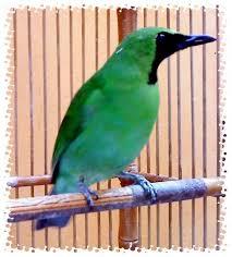 Gambar Aneka Burung Cucak Ijo Dan Cara Merawat
