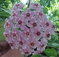 Quer variar nas texturas de suas plantinhas pendentes? Flor De Cera Hoya Carnosa