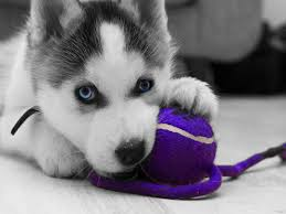 baby husky wallpaper. Interesting Wallpaper Baby White Husky Throughout Wallpaper S