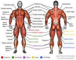 Human muscle system, the muscles of the human body that work the skeletal system, that are under voluntary control, and that are concerned with the following sections provide a basic framework for the understanding of gross human muscular anatomy, with descriptions of the large muscle groups. Learn Muscle Names And How To Memorize Them Weight Training Guide Human Muscle Anatomy Muscle Names Body Muscles Names