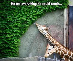 Giraffe Quotes Beauteous Giraffe Quotes Giraffe Sayings Giraffe Picture Quotes