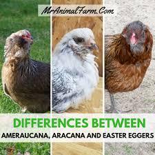 Ameraucana Chicken Color Chart Differences Between Ameraucana Aracana And Easter Egger