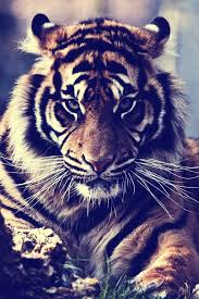 tiger roar tumblr. Brilliant Tumblr Tumblr Tiger Roar  Photo4 Intended Tiger Roar