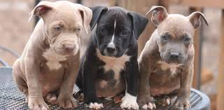 American Pitbull Terrier Feeding Chart Pit Bull Puppies Getting Started Raising Them Right