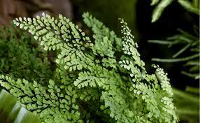 types of indoor ferns. types of indoor ferns