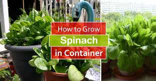 how to grow spinach in pots growing spinach in containers care balcony garden web