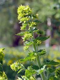 Yellow Figwort, Scrophularia vernalis - Flowers - NatureGate