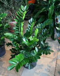 cool office plants. Trendy Cool House Plants From Amazing Tropical Office Zz Plant