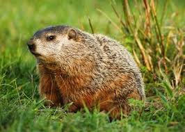 how to keep groundhogs out of my garden.  Keep How To Keep Groundhogs Out Of The Garden And To Of My