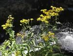 Images & Illustrations of butterweed