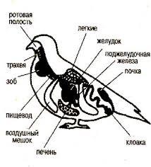 Реферат Класс птицы общая характеристика класса com  Класс птицы общая характеристика класса Класс птицы общая характеристика класса