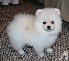 free teacup pomeranian puppies.  Teacup Pomeranian Puppies For Free Adoption For Free Teacup O