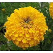 college application essay topics for marigolds essay marigolds essay