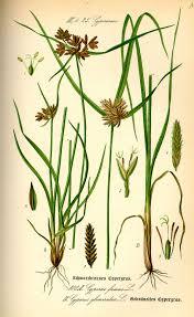 Cyperus glomeratus - Wikipedia, la enciclopedia libre