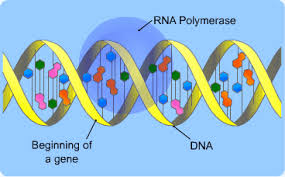 Dna Replication Definition Dna And Protein Synthesis S Cool The Revision Website