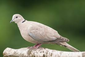 10 Collared Dove Facts You Need To Know Discover Wildlife