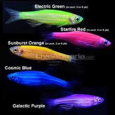 petco glofish. Brilliant Petco Tropical Fish For Freshwater Aquariums GloFishR Danio Rerio With Petco Glofish