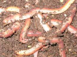 raising nightcrawlers and worms at home
