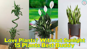 Image Plants Can Love Plants But No Sunlight These Plants Can Be Your Best Buddy Youtube Love Plants But No Sunlight These Plants Can Be Your Best Buddy