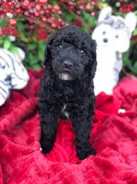 southernbred standard poodles has eight 8 big standard poodle puppies born january 13 2019 striking parti colored black and white puppies and three