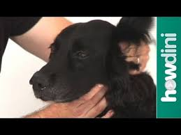 how to clean your dog s ears at home tips for cleaning a dog s ears you