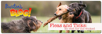 ivermectin for fleas. Unique For Fleas And Ticks Intended Ivermectin For Fleas