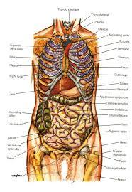 Human Anatomy Organs