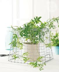 22 Best Indoor Climbing Plants And Vines Images On Pinterest Climbing Plants Indoor