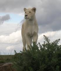 white lioness. Perfect White A White Lioness  Big Cat  By Bob Henry Photograpy Inside S