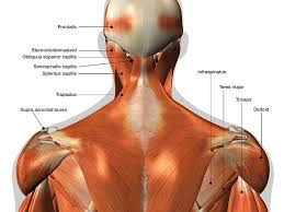 Labeled Anatomy Chart Of Neck And Back