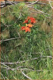 Lilium bulbiferum L.