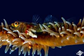 Goby Design Whip Coral Goby Facts And Photographs Seaunseen