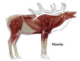 Elk Muscle In 2019 Moose Hunting Elk Hunting Tips Elk