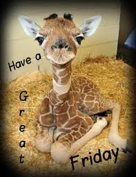 Have A Great Friday Baby Giraffe Friday Quotes Giraffe Friday Fascinating Giraffe Quotes