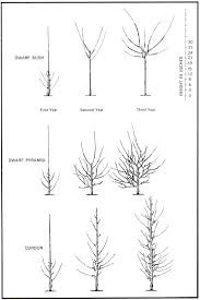 Apple Tree Options For Small Spaces Growing Apple Trees Can Be A Fruit Tree Cordons