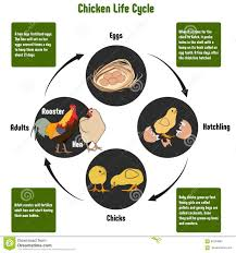 Chicken Life Cycle Diagram Stock Vector Illustration Of