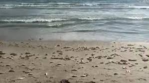 Red Tide Fish Kill Near Lori Wilson Park In Cocoa Beach
