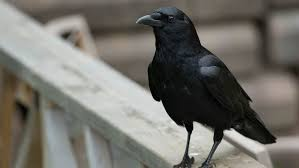 Crow Vending Machine Impressive French Theme Park Training Crows To Clean Up Trash Cigarette Butts